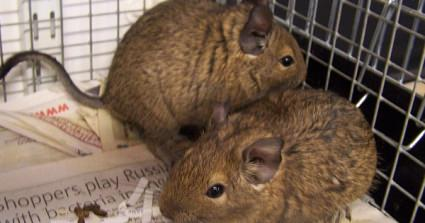 18 Degus Dumped In A Garden