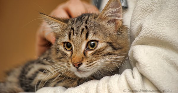 Research Shows Why Vets Are Often Missing The Cause Of Feline Diabetes