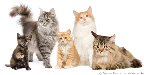 How Many Different Kinds Of Cat Breeds Are There