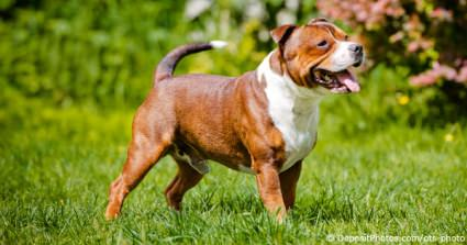 Staffordshire Bull Terriers Are Top Of Missing List