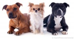 Scientific Classification Of Pet Dogs